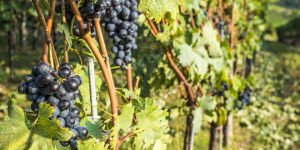 Italian wine harvest season 2017 has early arrival due to extreme weather